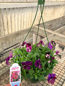 "10"" Pansy Hanging Basket - Cool Wave Raspberry"