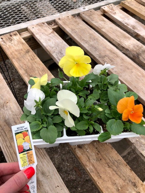 Pansy 6-Pack - Matrix Daffodil Mix