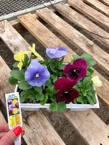 Pansy 6-Pack - Matrix Pastel Mix