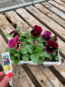Pansy 6-Pack - Matrix Pink Shades