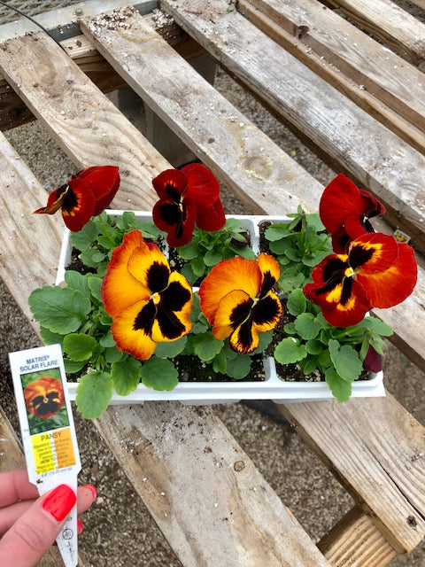 Pansy 6-Pack - Matrix Solar Flame