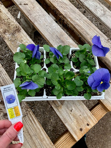 Pansy 6-Pack - Matrix True Blue