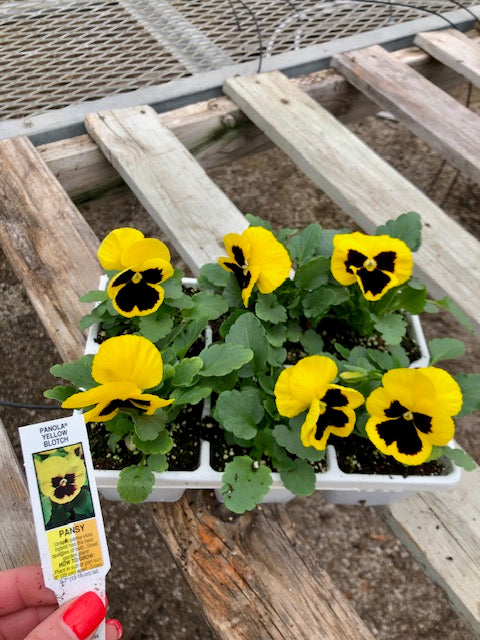 Pansy 6-Pack - Panola Blotch Yellow