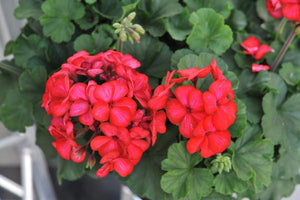 "4.5"" Sarita Sunstar Red Geranium"