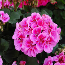 "4.5"" Savannah Lavender Splash Geranium"