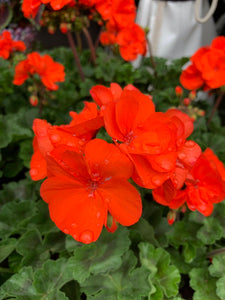 "4.5"" Savannah Oh So Orange Geranium"