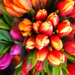 10 Stem Tulip Bunch