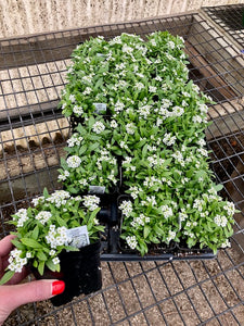 "Sweet Alyssum Flat/3"" Pot"