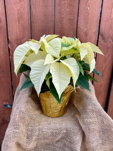 Premium Poinsettia - White