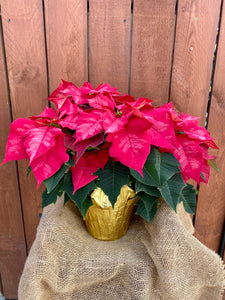 Premium Poinsettia - Ice Punch
