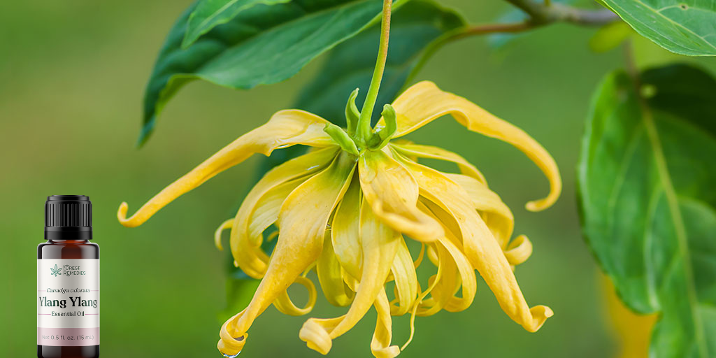 Ylang Ylang Essential Oil by Forest Remedies