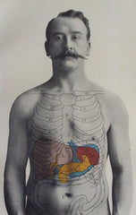 Anatomical picture of a man to show major body organs including liver.