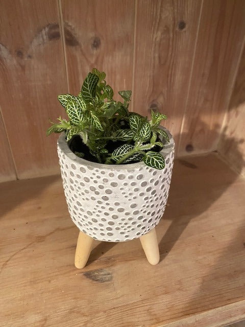Nerve Plant (Fittonia) Silver - Grey Pot with Legs