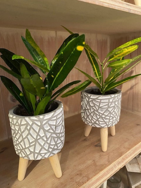 Variegated Croton - Grey pot with legs