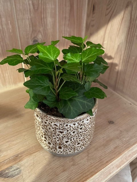 Miniature ivy -Vinyasa pot