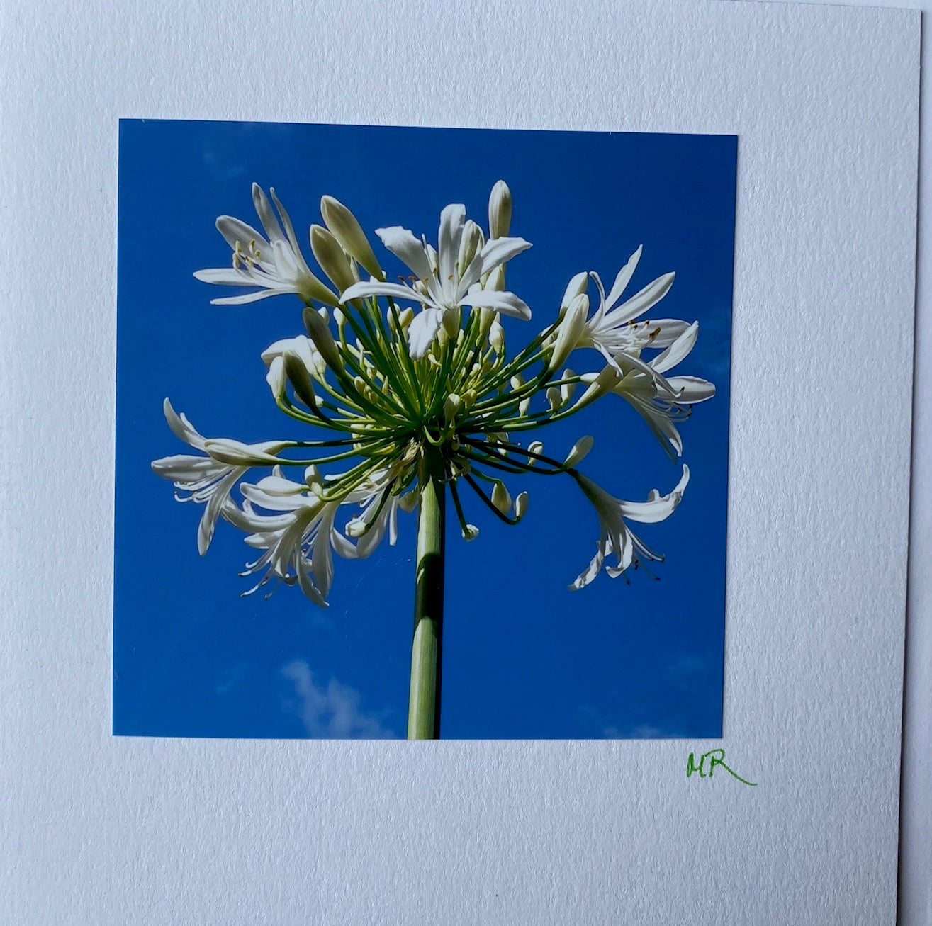 Blank Gift Card - Agapanthus Day