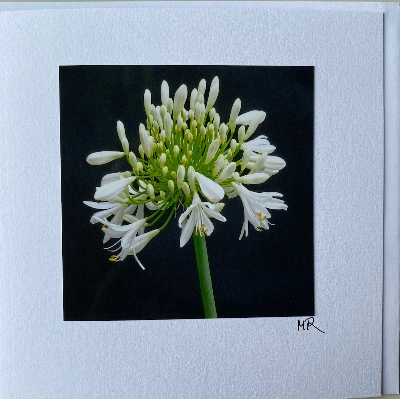 Blank Gift Card - Agapanthus Night