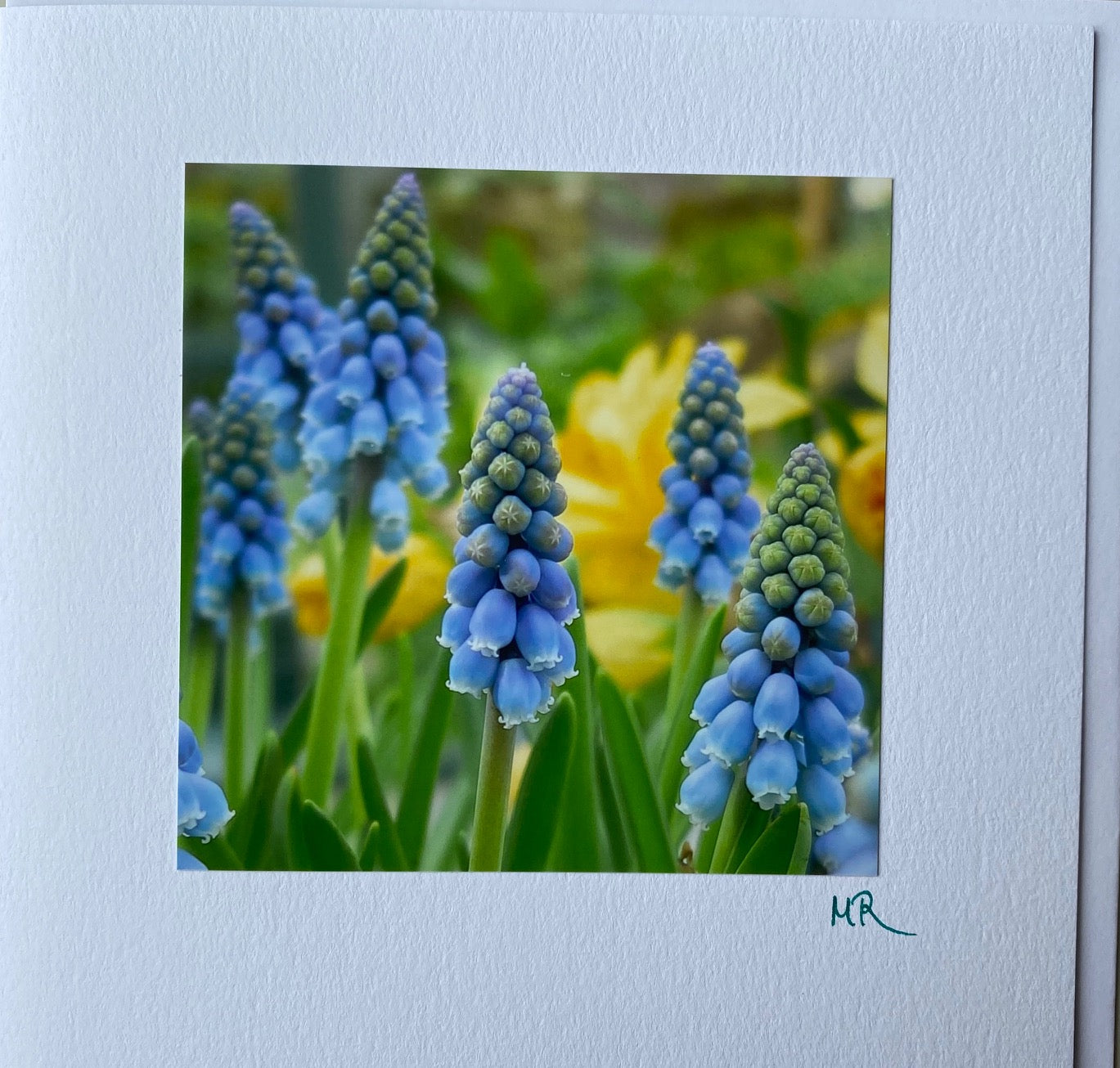 Blank Gift Card - Grape Hyacinth