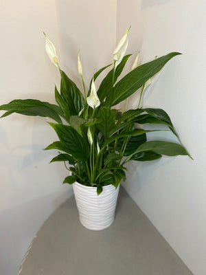 Peace Lily - Air purifying