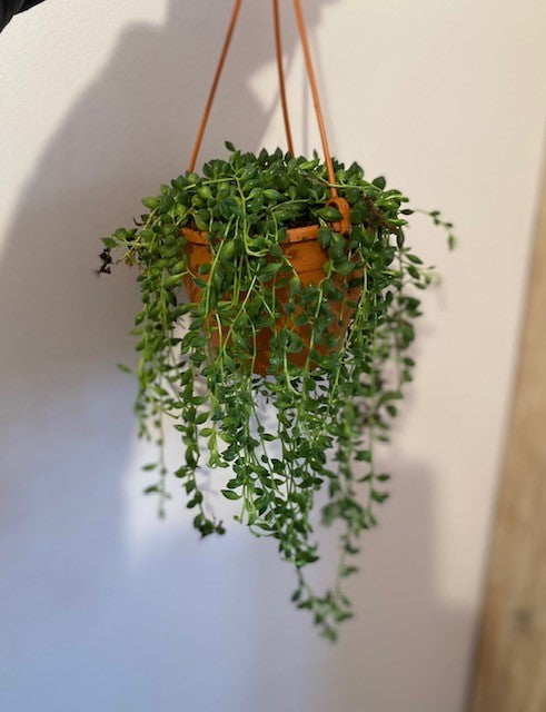 String of Pearls -Senecio