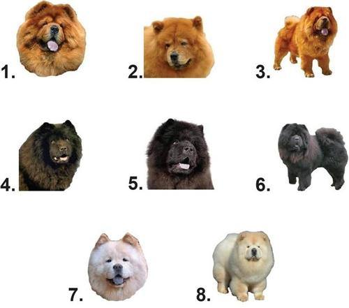 Chow Chow Waterslide Nail Decals