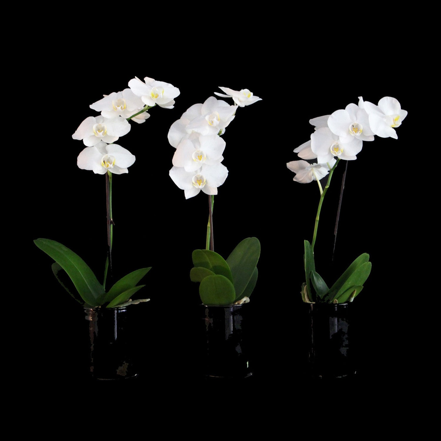 set of three mini orchids