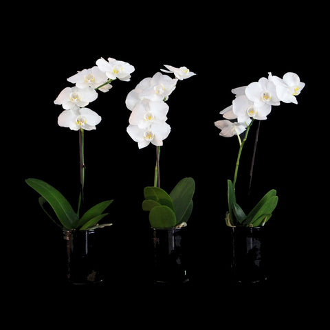SET OF 3 MINI ORCHIDS