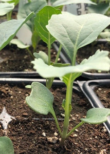 Cauliflower Seedling (Punnets)