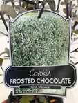 Corokia Frosted Chocolate