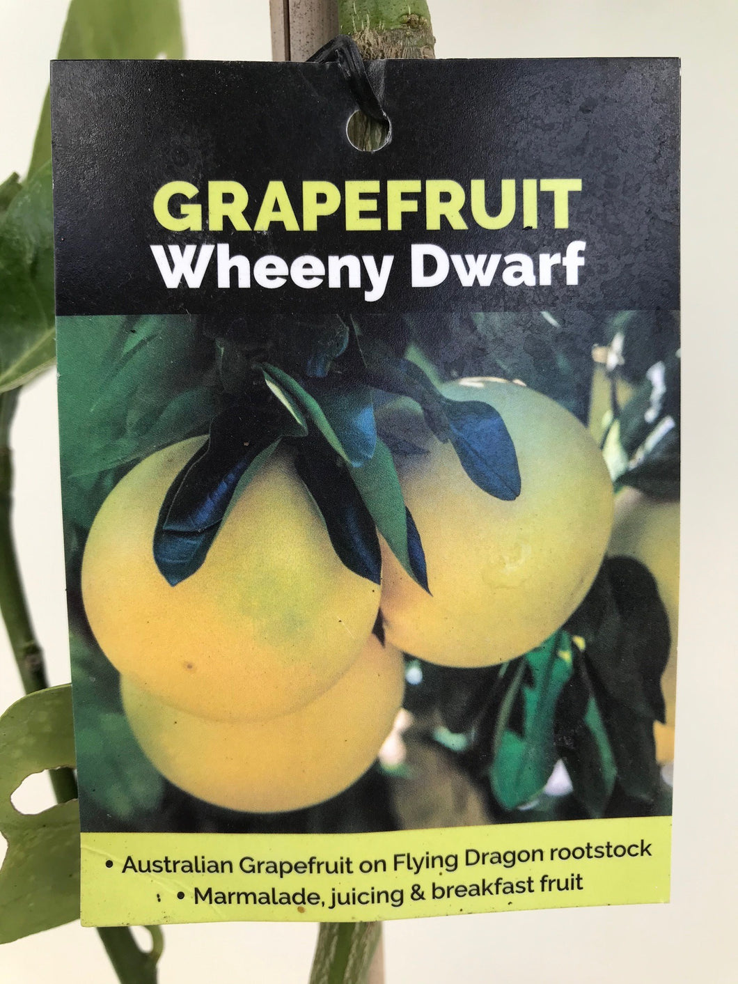 Grapefruit Wheeny Dwarf