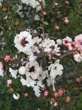Leptospermum Princess Anne