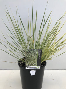 Lomandra White Sands PVR