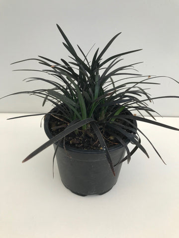 Ophiopogon Japonicus Black Dragon