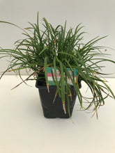 Load image into Gallery viewer, Ophiopogon Japonicus