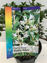 Load image into Gallery viewer, Osmanthus Pearly Gates
