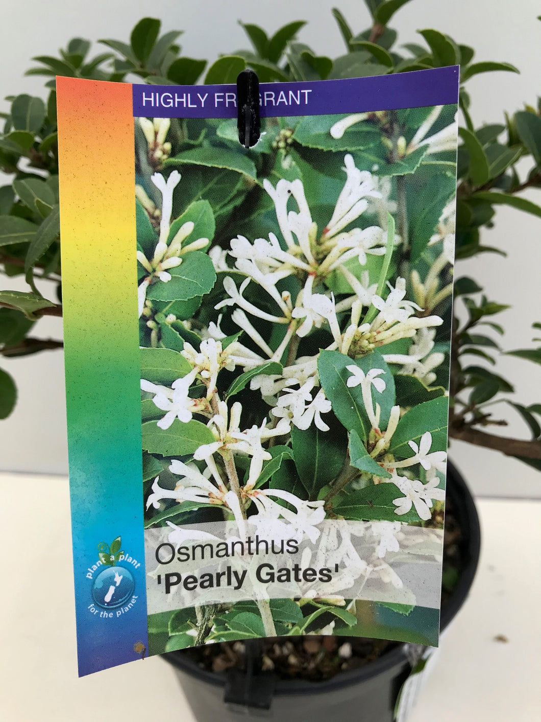 Osmanthus Pearly Gates