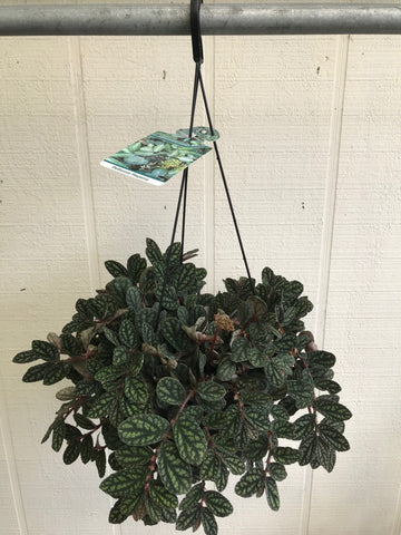 Pellionia Repens (Watermelon Begonia) Basket