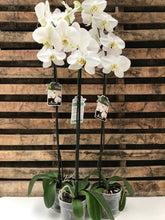 Load image into Gallery viewer, White Moth Orchid (Phalaenopsis) TALL