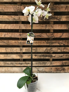 White Moth Orchid (Phalaenopsis) TALL
