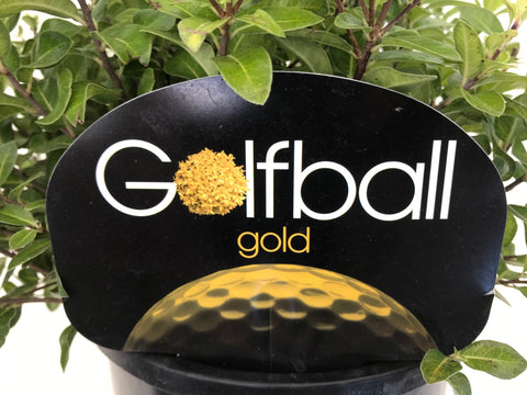 Pittosporum Golf Ball Gold