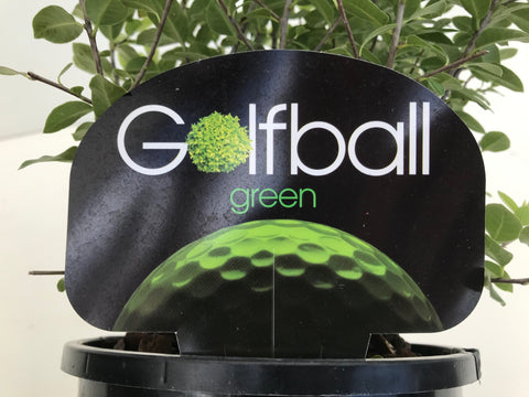 Pittosporum Golf Ball Green