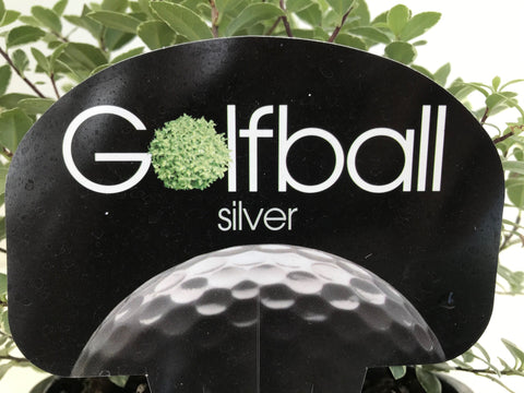 Pittosporum Golf Ball Silver