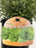 Pittosporum Little Burger