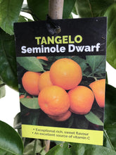 Load image into Gallery viewer, Tangelo Seminole Dwarf (Mandarin-Grapefruit cross)