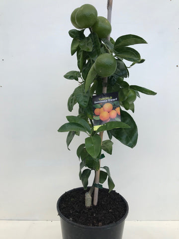 Tangelo Seminole Dwarf (Mandarin-Grapefruit cross)