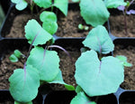 Cabbage Seedlings (Punnets)