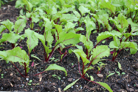 Beetroot Seedling (Punnet)