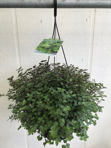 Callisia Repens (Bubbles) Basket