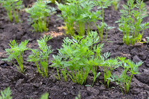 Carrot Seedlings (Punnets)