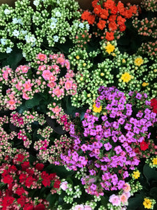 Flowering Kalanchoe Assorted